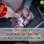 Không đeo găng tay khi chăn nuôi, giết mổ lợn dễ mắc bệnh liên cầu lợn