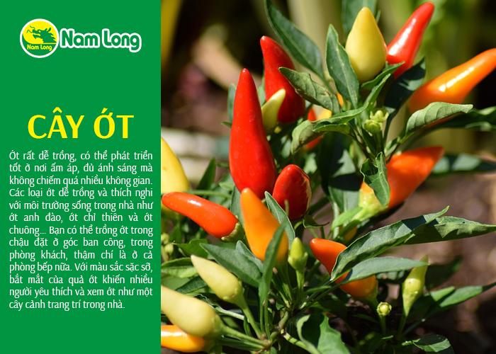 cây ớt - 02